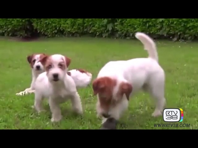 Il carattere del jack russell terrier youtube