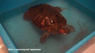 Кормление красноухих черепах дождевыми червями/Feeding  turtles earthworms