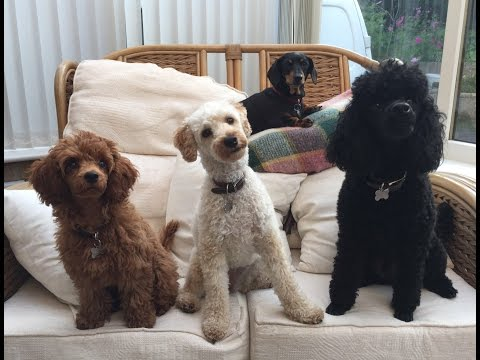 Our Miniature Poodle video clip reel - Featuring Felix, Mabel and Blossom