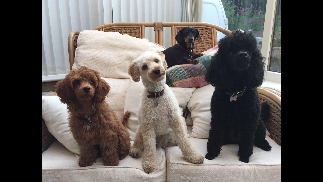 Standard Poodle Vs Miniature Poodle Breed Comparison