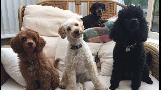 Our Miniature Poodle video clip reel  Featuring Felix, Mabel and Blossom
