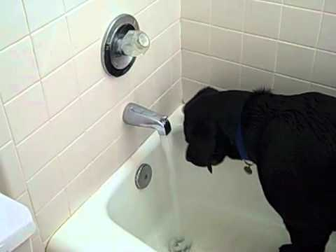 Funny Labrador in the bath turning on the water.