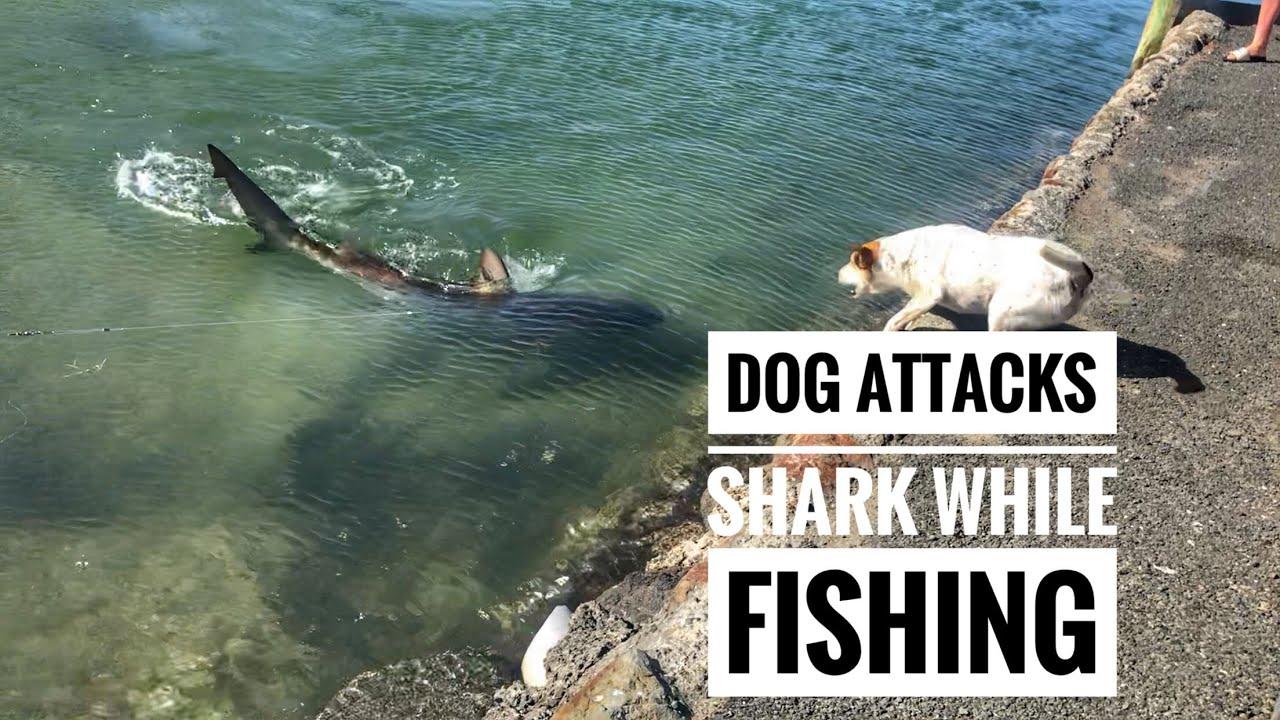Animal attack video: Shark attacks hippo gang in death