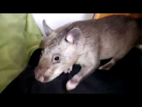 Gambian Pouched Rat Playtime 😍