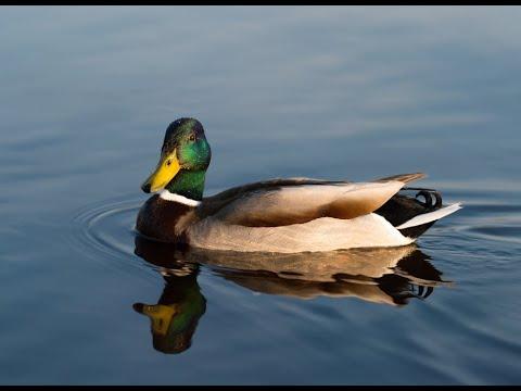 Bird Name- Duck