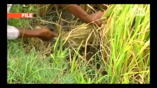 mitv - Paddy Price: Farmers Cultivate Destroyed Farmlands
