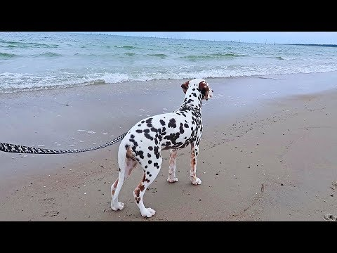 Dalmatian First Time On a Beach