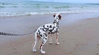 Dalmatian First Time On a Beach