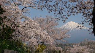 2017 富士宮・興徳寺と大石寺の桜と富士(4K) Mt. Fuji & Cherry Blossoms At Koutokuji & Taisekiji In Fujinomiya(UHD)