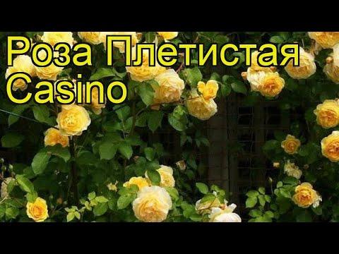 Роза плетистая Казино (Casino). Краткий обзор, описание характеристик, где купить саженцы