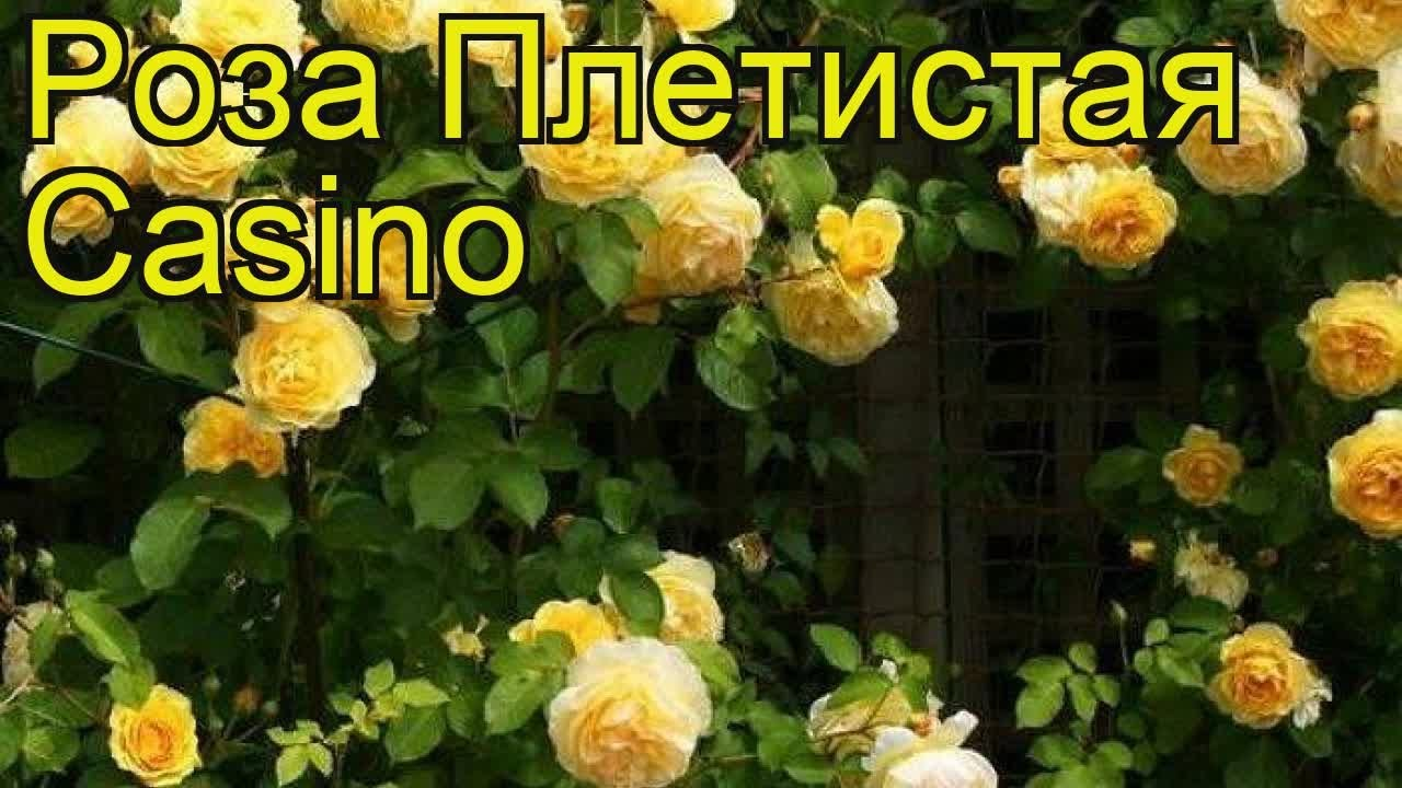 Плетистая роза казино casino горячая телефонна линия игровые автоматы