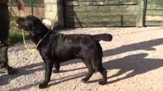 Labrador Retriever Retrieverbydana. Kostic Radisa