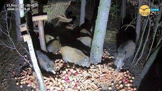 Dziki 🐗 na jabłkach 🍎 i marchewce 🥕 w karmisku w lesie
