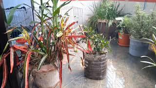 How To Propagate Croton Plants