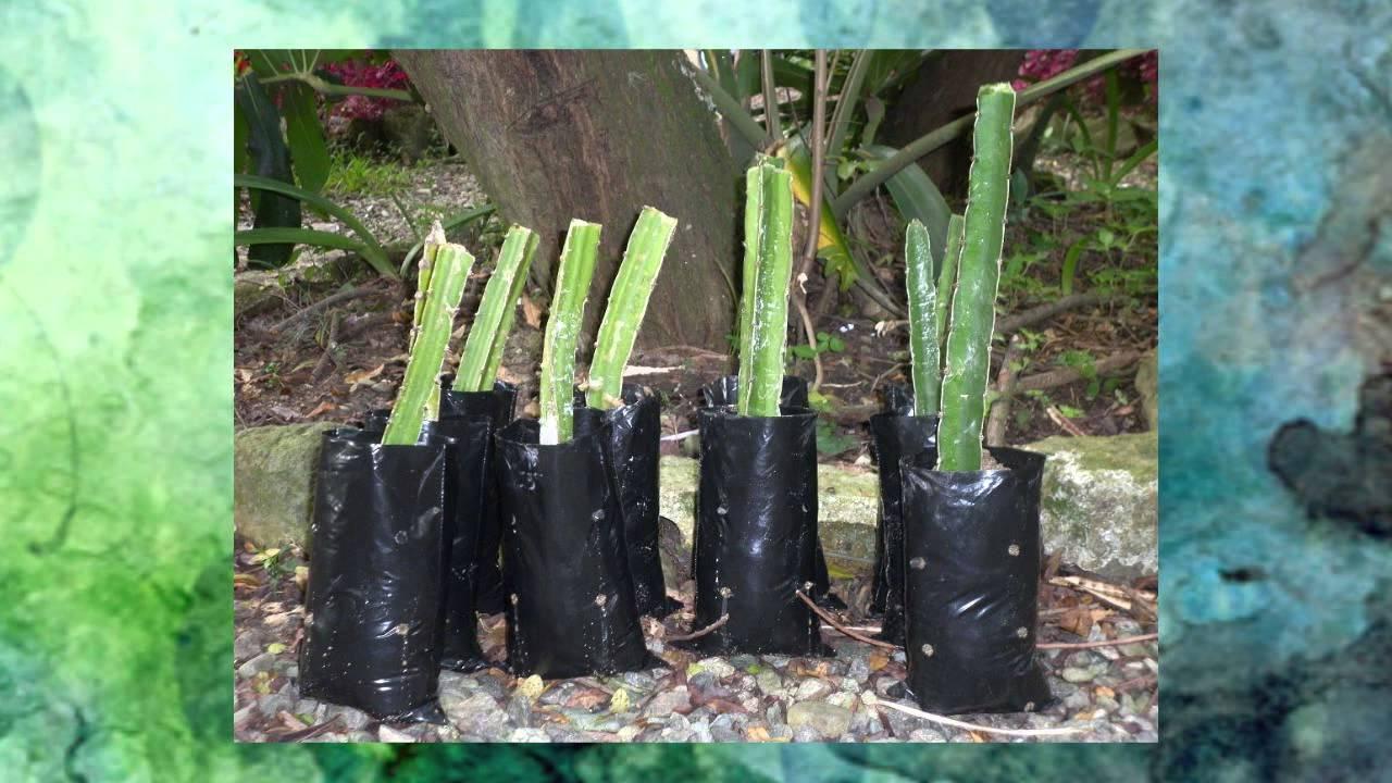 Cultivos de vitabosa quiebrabarrigo pitaya roja mamey for Donde venden cactus