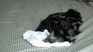 Kokoro Minature Schnauzer Puppy With Paper Towel