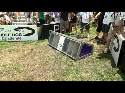 Jack Russell Hurdle Racing - 2013 Purina® Incredible Dog Challenge® St. Petersburg
