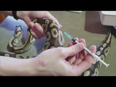 How to Treat Burned Snakes Giving Meds and Injections