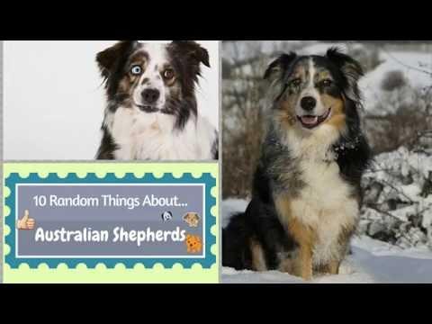 10 Random Things About...Australian Shepherds