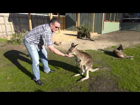Maru wildlife park, Melbourne, Australia - kangaroo feeding part 1