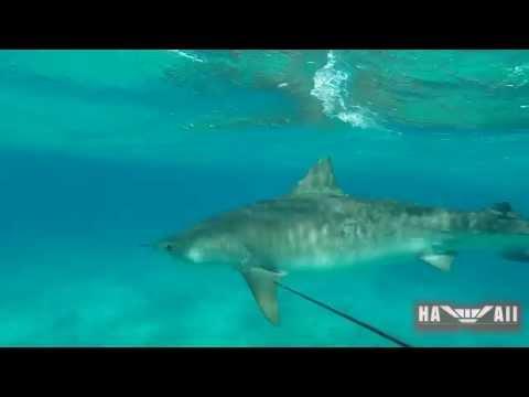 Diver Fights Off Tiger Shark