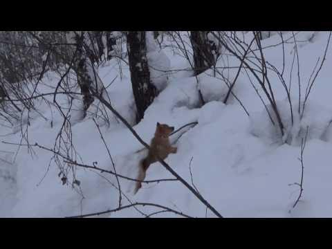 видео: Карело-финская лайка Айка 2 месяца