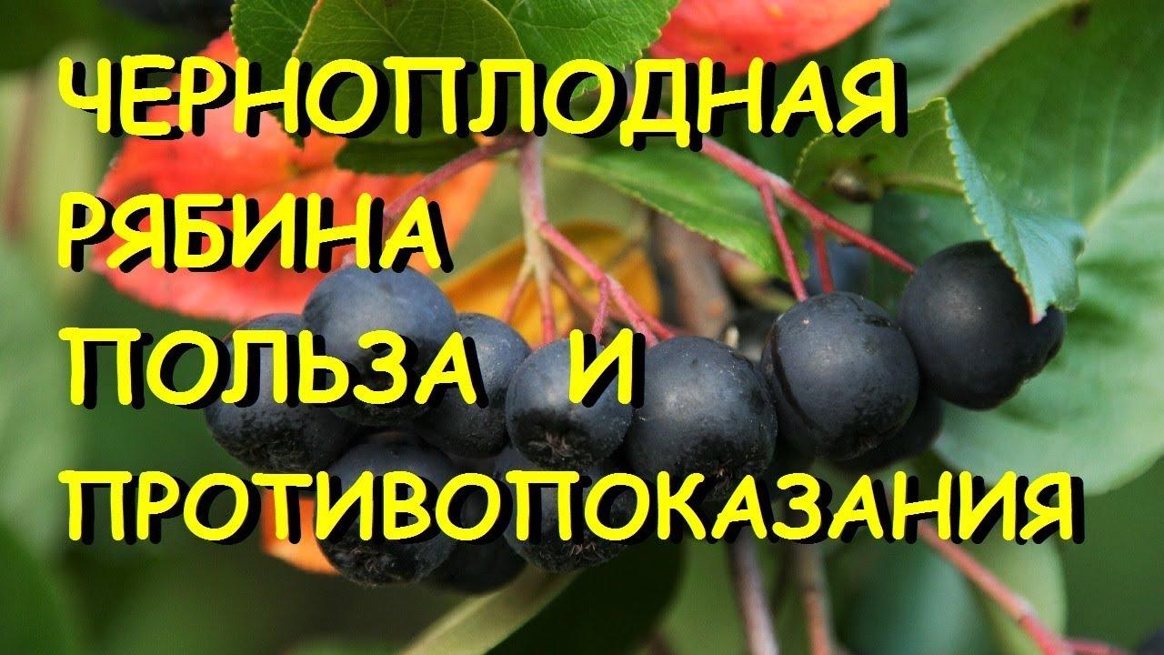 Черноплодная рябина, свойства, противопоказания
