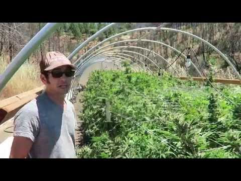 Grow Marijuana: Harvest Cannabis Flowers in 10 Days