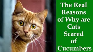 Why Cats Afraid Of Cucumbers: The Real Reasons