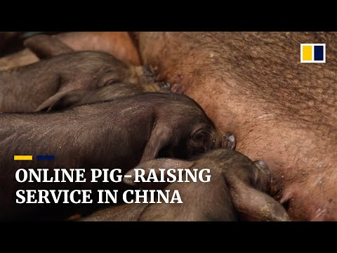 Raise A Pig Remotely Amid The Coronavirus Pandemic In China