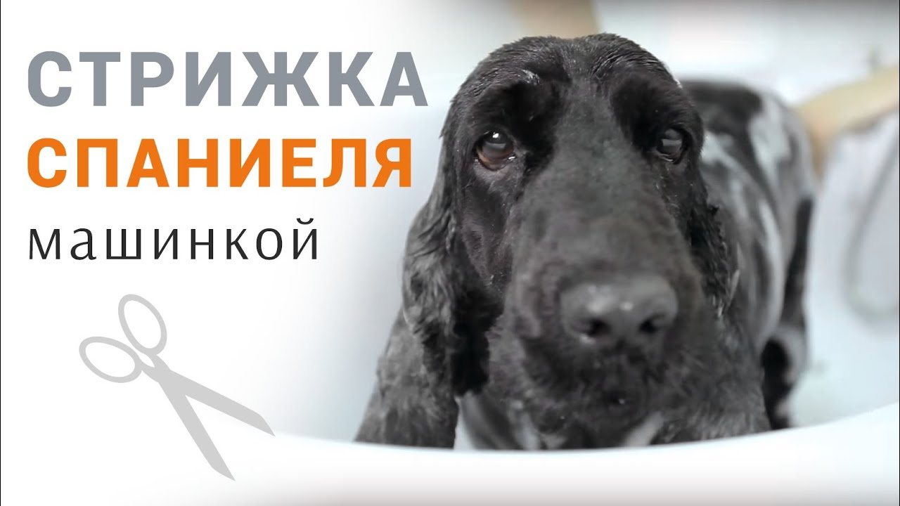 Собаки и щенки породы кокер-спаниель в донецкой области. На сервисе объявлений olx. Ua легко и быстро можно купить щенка кокер-спаниеля.