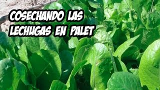 Cultivo de Lechugas en Palets | Resultados del Experimento thumbnail