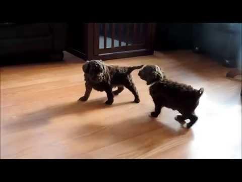 Izzy's Australian Labradoodle puppies