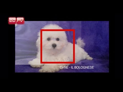 Professional Handler Il Bolognese Youtube