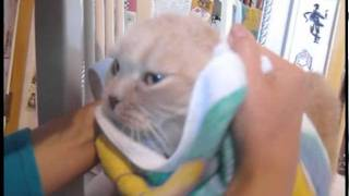 Cat bath! How to wash a cat, cleaning cats with towel baths. Catnip, Scottish Fold stretch yoga pose