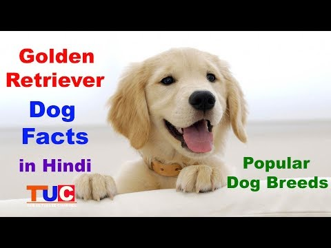 Golden Retriever Dog facts In Hindi : Popular Dog breeds : The Ultimate Channel