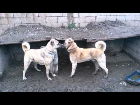 Kangal Dog Puppies for Sale / www.satilikkangalkopek.com/