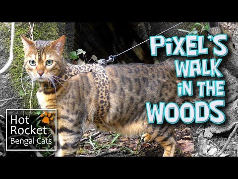 Bengal cat Pixel walking & exploring in the woods (long version)