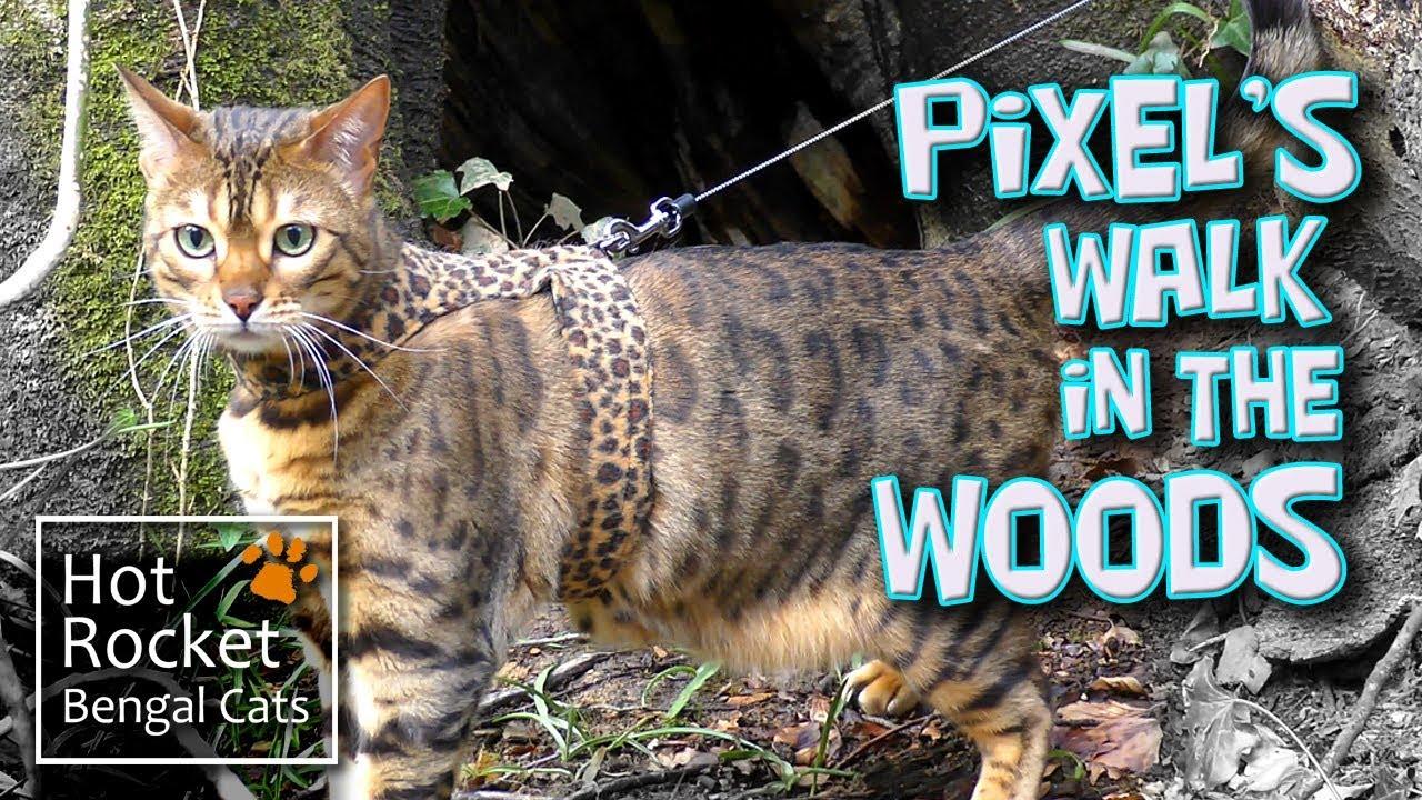 Bengal cat Pixel walking & exploring in the woods (long version ...