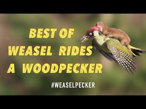 Best Of Weasel Rides A Woodpecker #weaselpecker