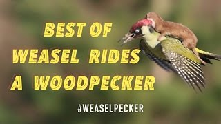 Best Of Weasel Rides a Woodpecker #weaselpecker