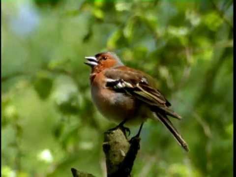 Beliebt Bevorzugt WBF - Unsere heimischen Singvögel - Erkennungsmerkmale einiger &WJ_63