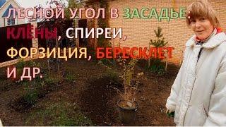Лесной угол: садовая композиция с кленами, спиреями, елью, форзицией, бересклетом