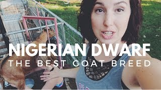 NIGERIAN DWARF GOATS: Why you'll fall in love with this breed!