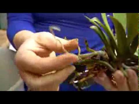 orchideen richtig umtopfen in den orchitop orchideentopf keramikscheune spickendorf youtube. Black Bedroom Furniture Sets. Home Design Ideas