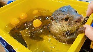 수달 수영장을 청소하면 생기는 일