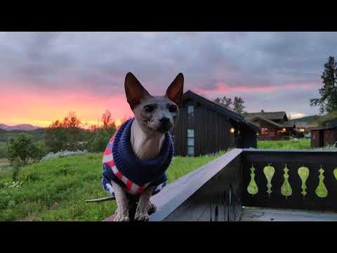 "Sphynx cat ""Rango"" enjoying wonderful sunset in the mountains of Norway / DonSphynx /"