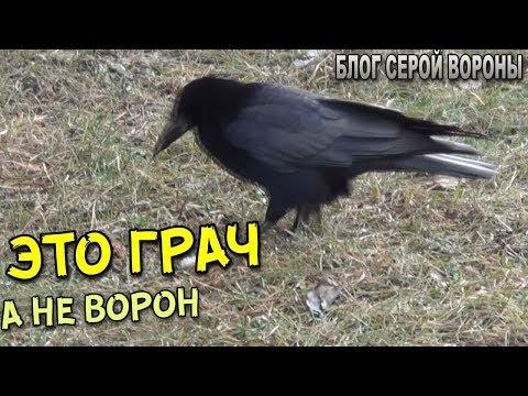 Как выглядит птица грач фото