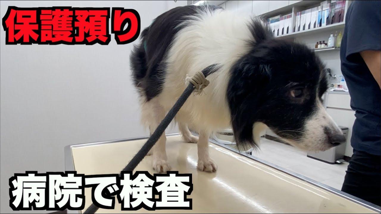 保護犬ボーダーコリー・病院で検査【10-11日】
