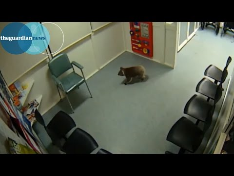 Koala strolls into emergency room of Australian hospital